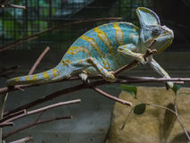 Kameleon Royalty-vrije Stock Afbeelding