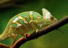 Kameleon Stock Foto