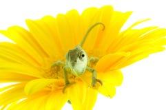 Kameleon. Stock Foto's