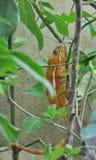 kameleon Zdjęcie Stock