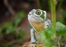 kameleon Obraz Royalty Free