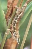 Kameleon Royalty-vrije Stock Foto's