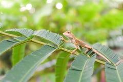 kameleon Fotografia Stock