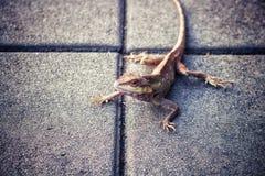 Kameleon, Aziatisch die ras in Thailand op de concrete vloer wordt gevestigd stock foto's