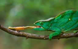 Kameleon bij jachtinsect Lang tongkameleon madagascar Close-up stock foto's