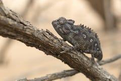 Kameleon in boom in het Nationale Park van Dorob nafta stock foto's