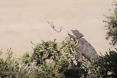 Kameleon in boom in het Nationale Park van Dorob nafta Aangepaste woestijn Het eten met tong stock fotografie