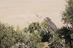 Kameleon in boom in het Nationale Park van Dorob nafta Aangepaste woestijn Het eten met tong die uit plakken uitgebreid beeld royalty-vrije stock fotografie