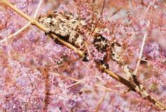 Kameleon Camoflouging in Roze Bloesem Royalty-vrije Stock Afbeelding