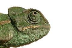 Kameleon dat op wit wordt geïsoleerd Stock Afbeeldingen