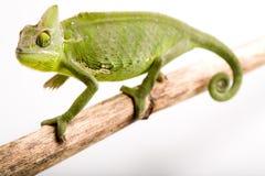 Kameleon dat op wit wordt geïsoleerd Stock Fotografie