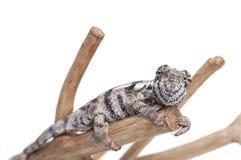 Kameleon dat op wit wordt geïsoleerd Stock Foto