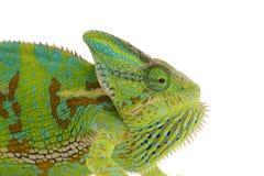 Kameleon dat op wit wordt geïsoleerd Stock Foto's