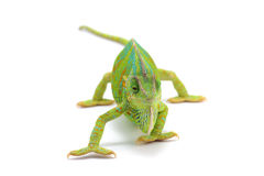 Kameleon dat op wit wordt geïsoleerd Royalty-vrije Stock Foto