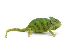 Kameleon dat op wit wordt geïsoleerd Royalty-vrije Stock Afbeelding