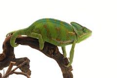 Kameleon dat op wit wordt geïsoleerd Royalty-vrije Stock Foto's