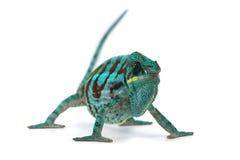 Kameleon dat op wit wordt geïsoleerd Royalty-vrije Stock Afbeeldingen