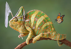 Kameleon dat vlinders vangt Stock Foto's