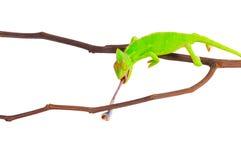 Kameleon die een kakkerlak jagen Royalty-vrije Stock Fotografie