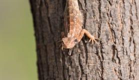 Kameleon die het oog onderzoeken Royalty-vrije Stock Afbeeldingen