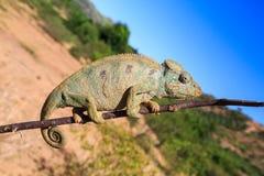 Kameleon die op een tak in een Afrikaans landschap lopen stock afbeelding
