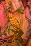 Kameleon die op groene tak, brightful beeld kruipen royalty-vrije stock foto