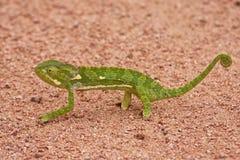 Kameleon die op zand lopen Royalty-vrije Stock Afbeelding