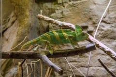 Kameleon in dierentuin Stock Afbeelding