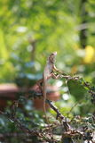 kameleon, draak Stock Foto's