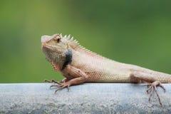 kameleon, draak Royalty-vrije Stock Foto's