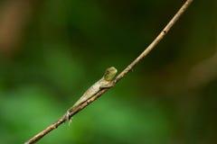 kameleon gałązka Zdjęcia Royalty Free