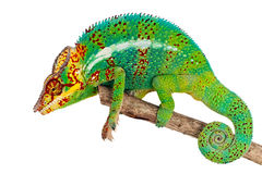 kameleon gałęziasta zieleń Zdjęcie Stock