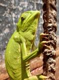 Kameleon Ghana Royalty-vrije Stock Foto's