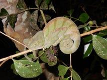 Kameleon, Groene die kleur, Nacht met donkere achtergrond wordt geschoten madagascar Stock Afbeelding