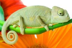 Kameleon. Isolatie op wit stock afbeeldingen