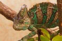 Kameleon jaty Obrazy Stock