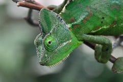 kameleon karmy zdjęcie stock