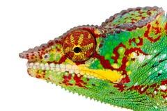 kameleon kolorowy Fotografia Royalty Free