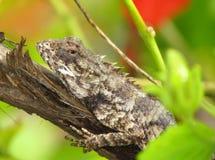 Kameleon lub ogród jaszczurka wygrzewa się na drzewnym fiszorku Zdjęcie Royalty Free