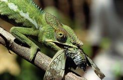 Kameleon met cicade Stock Foto