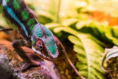 Kameleon między liśćmi Obrazy Stock
