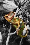 Kameleon na czarny i biały tle Fotografia Royalty Free