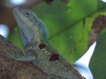 Kameleon na drzewie w Tajlandia ogródzie zdjęcia stock