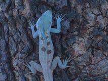 Kameleon na drzewie w Tajlandia ogródzie obraz royalty free