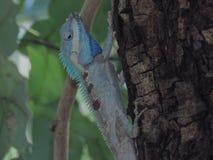 Kameleon na drzewie w Tajlandia ogródzie obrazy royalty free