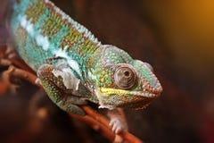 Kameleon na gałąź Zdjęcie Stock