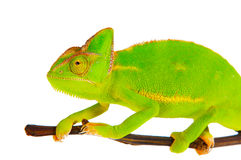 Kameleon na gałąź Obraz Royalty Free