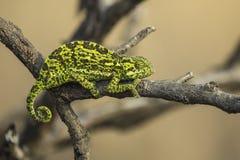 Kameleon na gałąź zdjęcie royalty free
