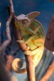Kameleon na gałąź Zdjęcia Stock
