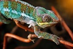 Kameleon na gałąź Zdjęcia Royalty Free